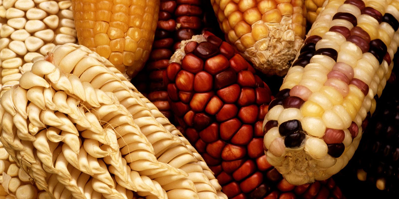corn_corn_on_the_cob_harvest