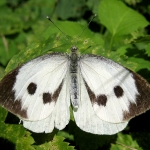 Large_white_spread_female