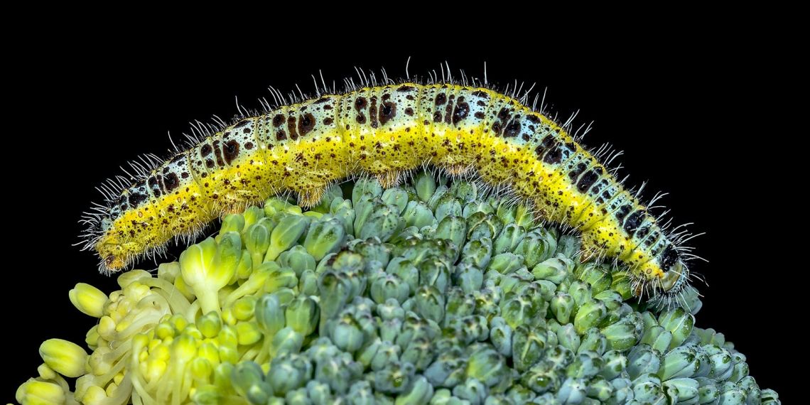 Pieris_brassicae_(caterpillar)
