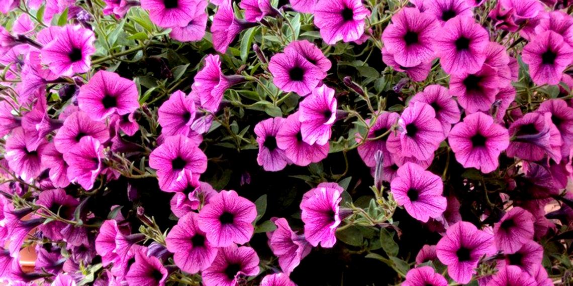 pink-petunias-1146055