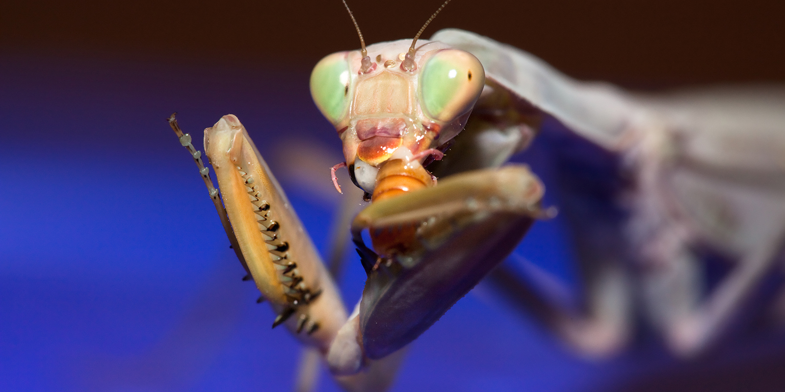 psychedelic mantis eating on blue