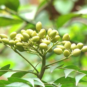 Unripe-fruits-of-neem