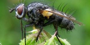 800px-Diptera-Tachinidae-Pelatachina-tibialis-201206190008