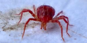 British_Spiders,_Phytoseiulus_persimilis