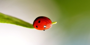 ladybug_spring_ladybugs