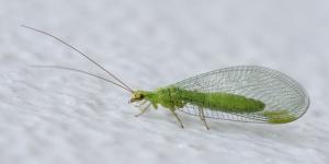 nevroptera